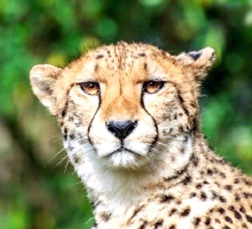 гепард проти леопарда