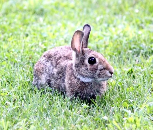 Як надіти шлею на кролика