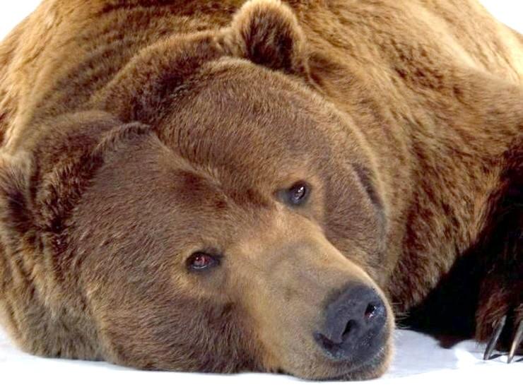 Чому ведмідь спить
