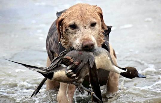 Як натискати собаку для полювання