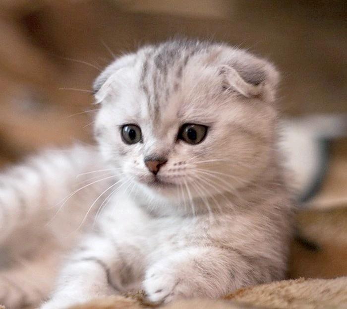 Як назвати висловухого кота