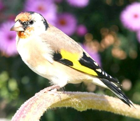 чим годувати пташеняти щигля