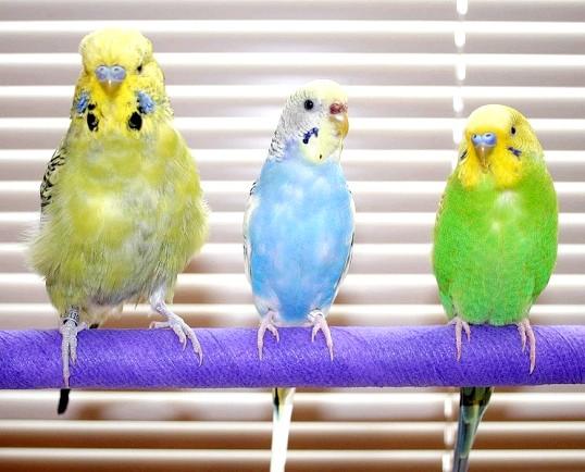 Як визначити, молодий папуга чи ні
