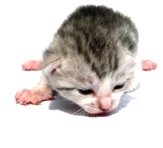Як відгодувати слабкого кошеня