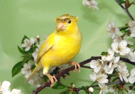 Як відрізнити кенара від канарки