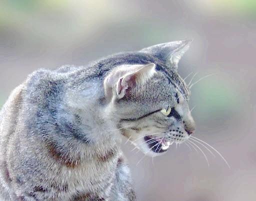 Як привчити кішку нявкати