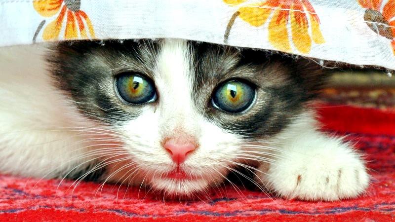 Як відучити кошеня лазити по фіранкам