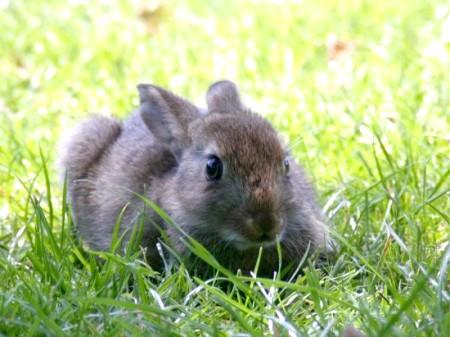 Як розпізнати стать кролика