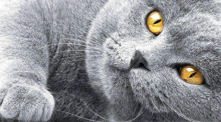 Як в'язати британських кішок