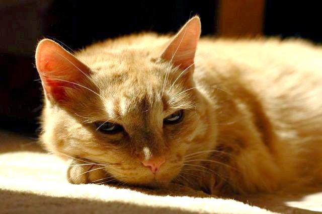 Як у кішки визначити термін вагітності