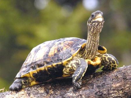 Як доглядати за домашньою черепахою