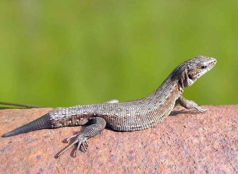 травоїдні рептилії