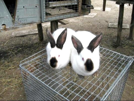 Як доглядати за кроликами взимку