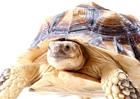 Як доглядати за сухопутними черепахами