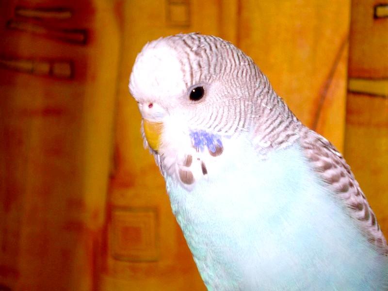 Як дізнатися, скільки років хвилястому папузі