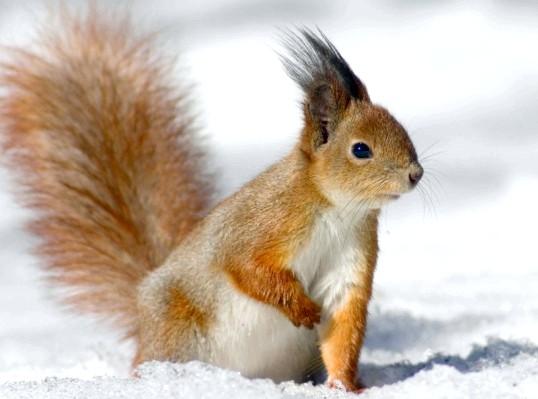 білка живе взимку