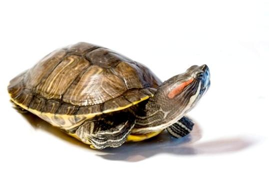Червоновухі черепахи