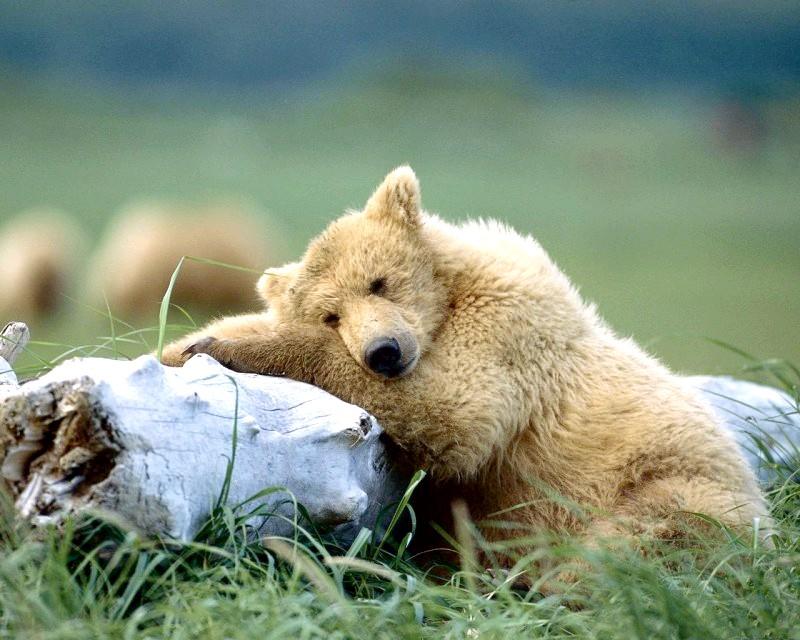 Чому бурі ведмеді сплять всю зиму
