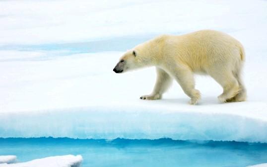 Де живуть білі ведмеді