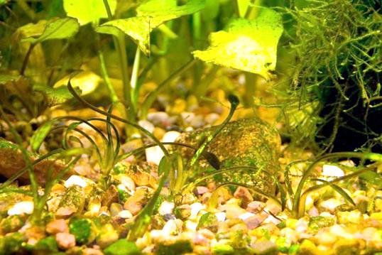 Як позбутися від бурої водорості в акваріумі