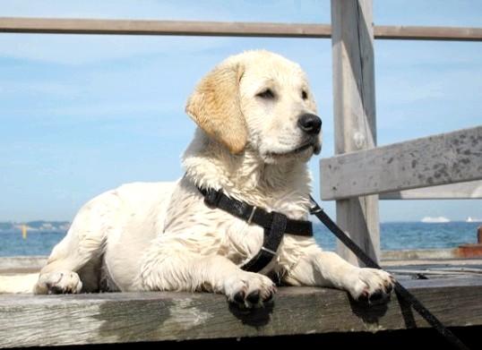 Як надіти поводок на собаку