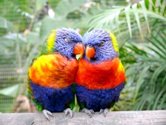 Як відрізнити папугу нерозлучника-самця від самки