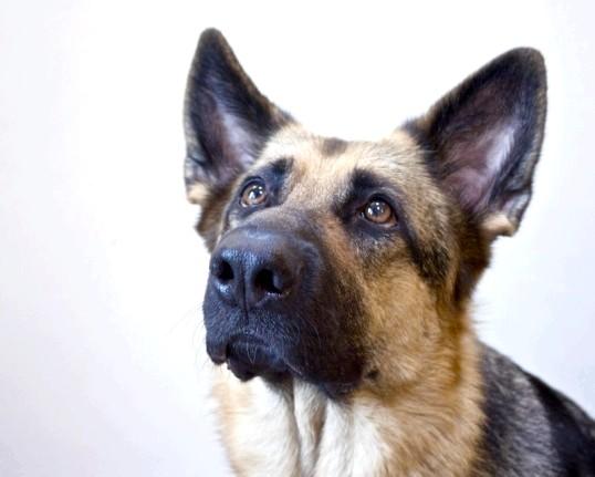 Як вибрати собаку для охорони будинку