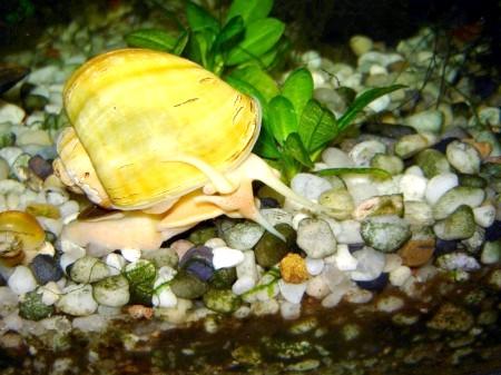 розведення акваріумних равликів в домашніх умовах амнулних