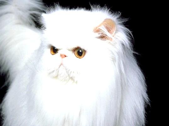 Як підстригти пухнастого кота?