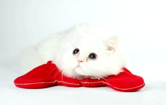Як припинити лактацію у кішки