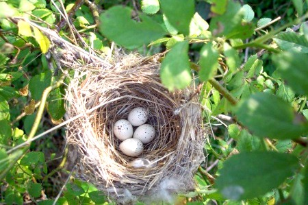 Як птахи в'ють свої гнізда