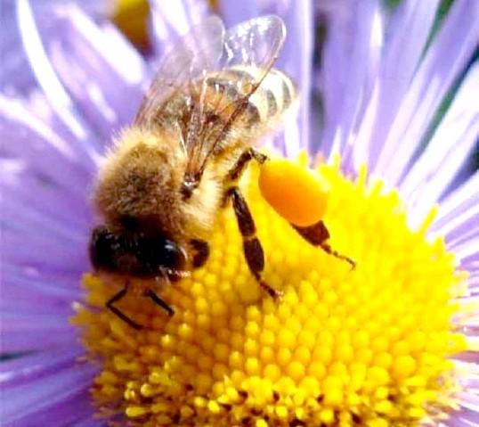 Лікування бджолиним пилком
