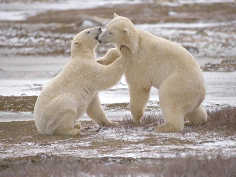 Скільки років живуть ведмеді