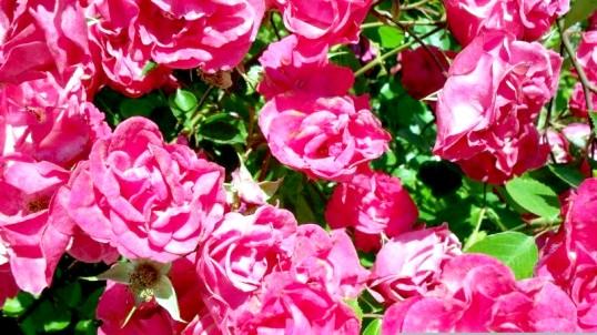 Рецепти варення з пелюсток троянди і кульбаб