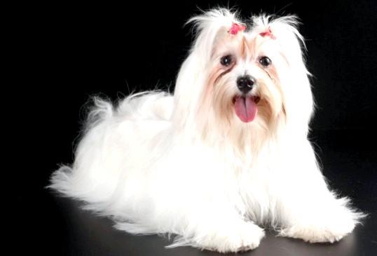 Яка порода собак підходить для новачків
