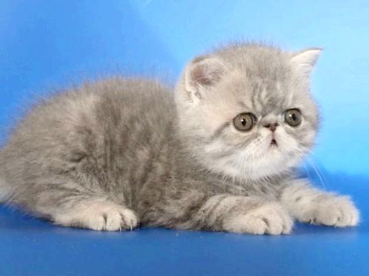 Як доглядати за перськими кошенятами