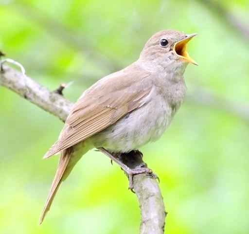 Які птахи співають