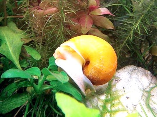 Чим харчується акваріумна равлик