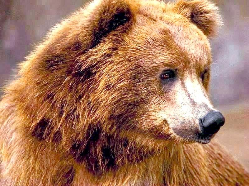 Чим харчується бурий ведмідь