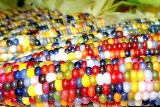 Кольорова кукурудза - чудо селекції