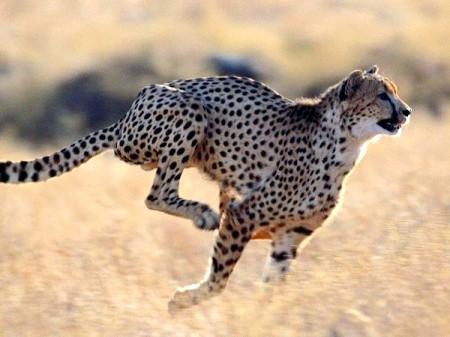 Найшвидші хижаки на землі
