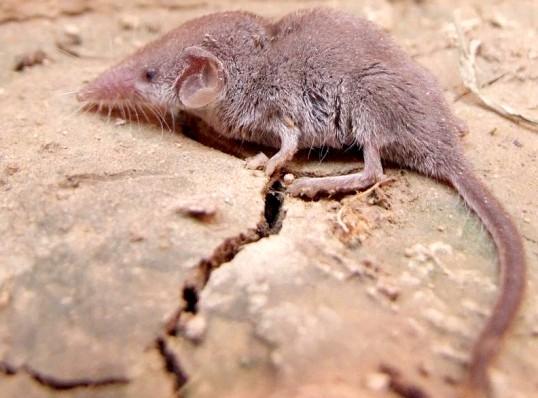 Найменше ссавець на Землі - землерийка