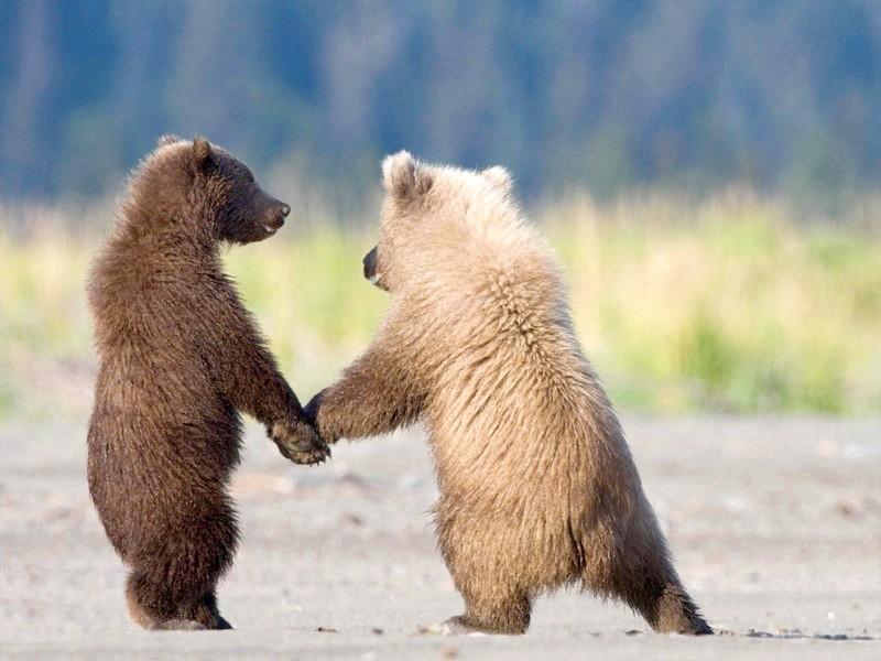Скільки важить білий і бурий ведмідь