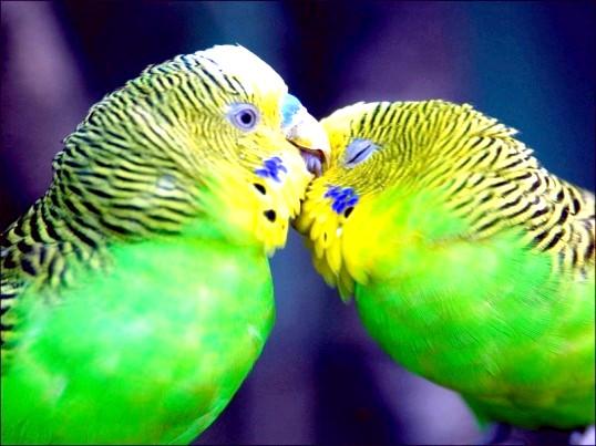Скільки років живуть хвилясті папуги в домашніх умовах?